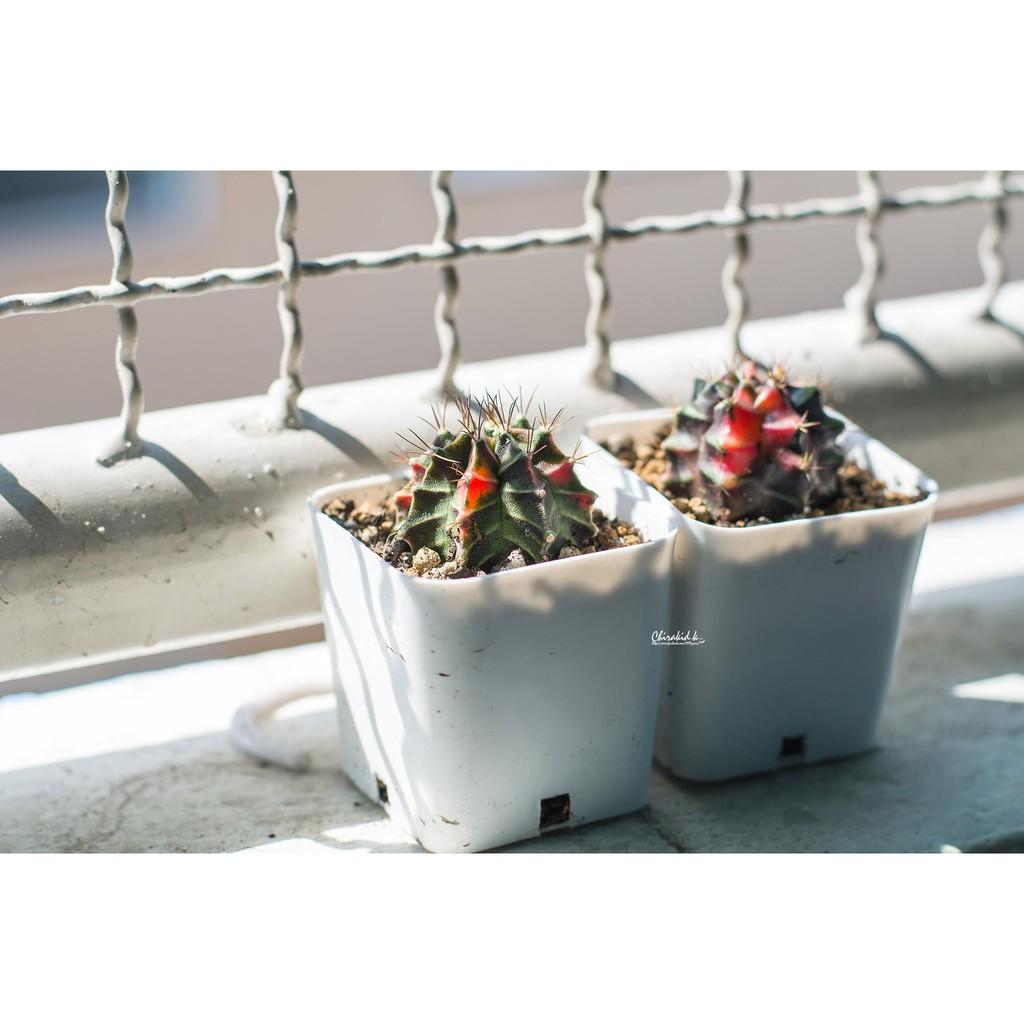 กระถาง 2 นิ้ว อย่างดี สีดำ สีขาว กระบองเพชร แคคตัส Cactus