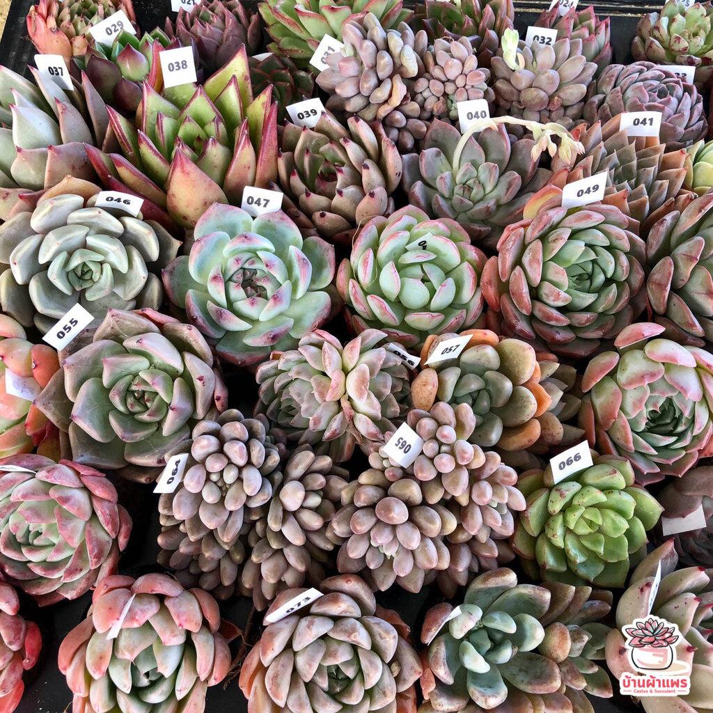 Echeveria Hybrid #4 #ไม้นำเข้า #ส่งแบบBareroot ไม้อวบน้ำ กุหลาบหิน Cactus&Succulent