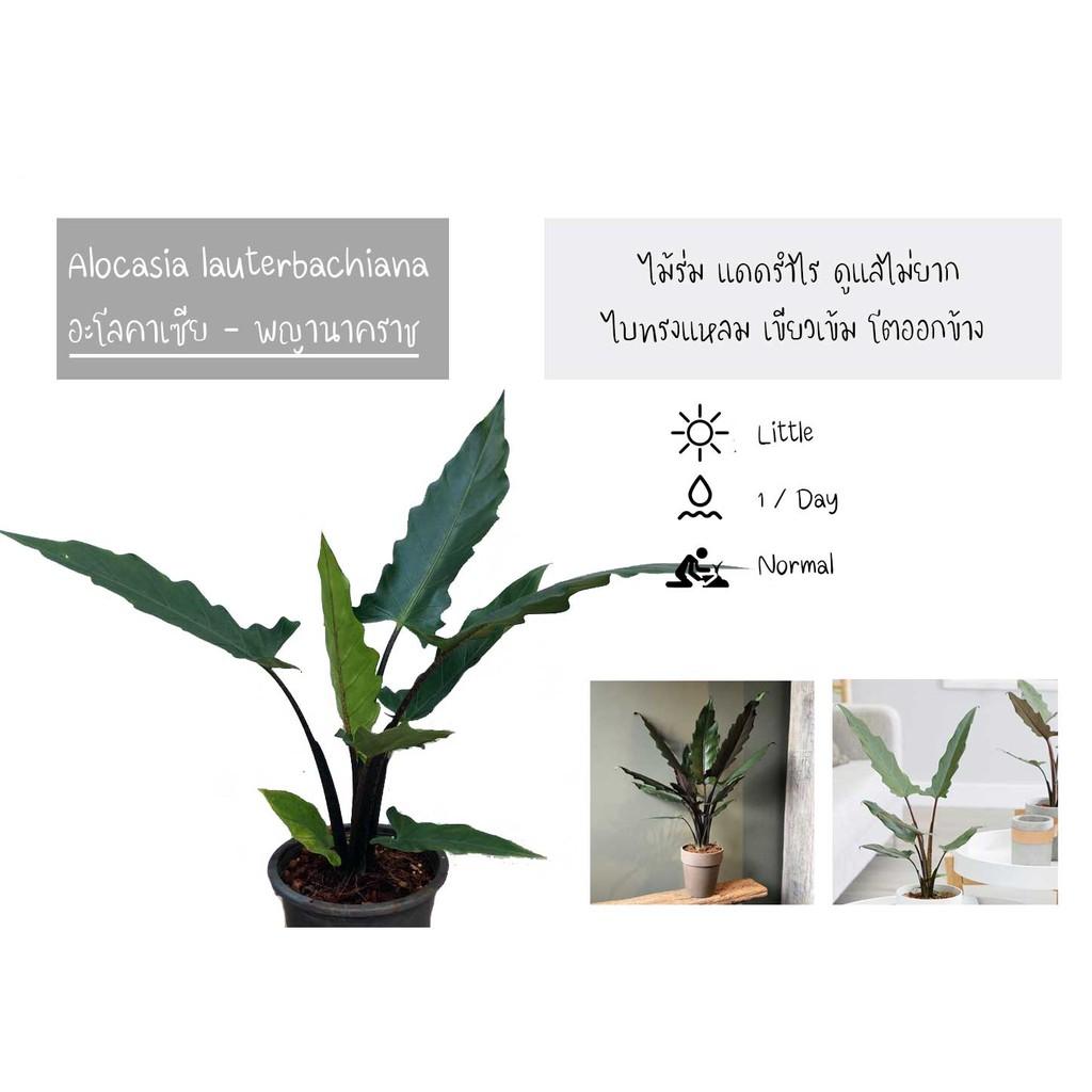 อโลคาเซีย I Alocasia lauterbachiana