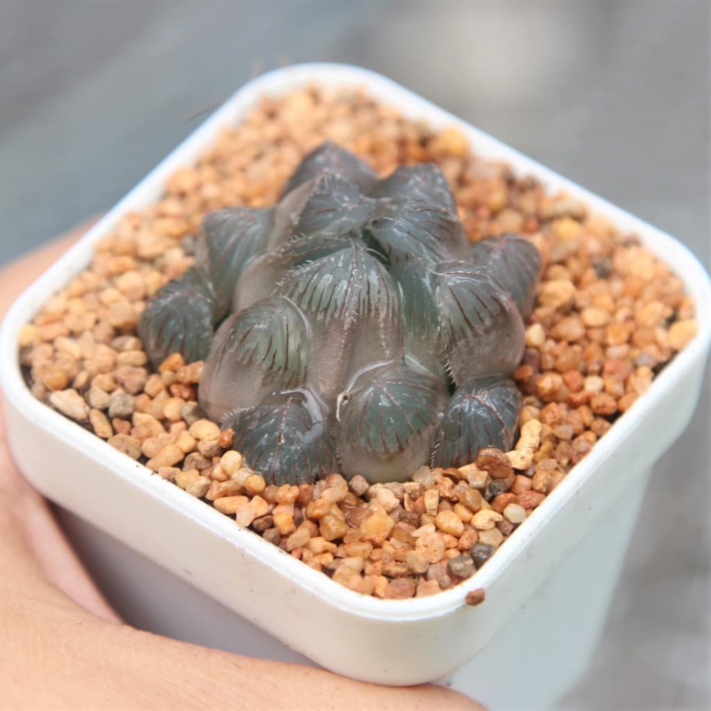 (ไม่มีราก) สินค้าใหม่ พึ่งนำเข้า Haworthia kyodai Akasen Lens G succulents กุหลาบหินนำเข้า ไม้อวบน้ำ