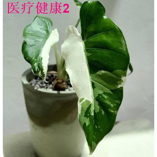 Aquatic Forest / Okinawa Silver Reya Alocasia Nishiki White Nishiki Alocasia นำเข้า Jinhua Alocasiaการรดน้ำต้นไม้ โอกินา