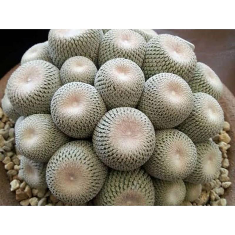 เมล็ดกระบองเพชร กระบองเพชร 10เมล็ด เมล็ดนำเข้า Epithelantha bokei แคคตัส cactus
