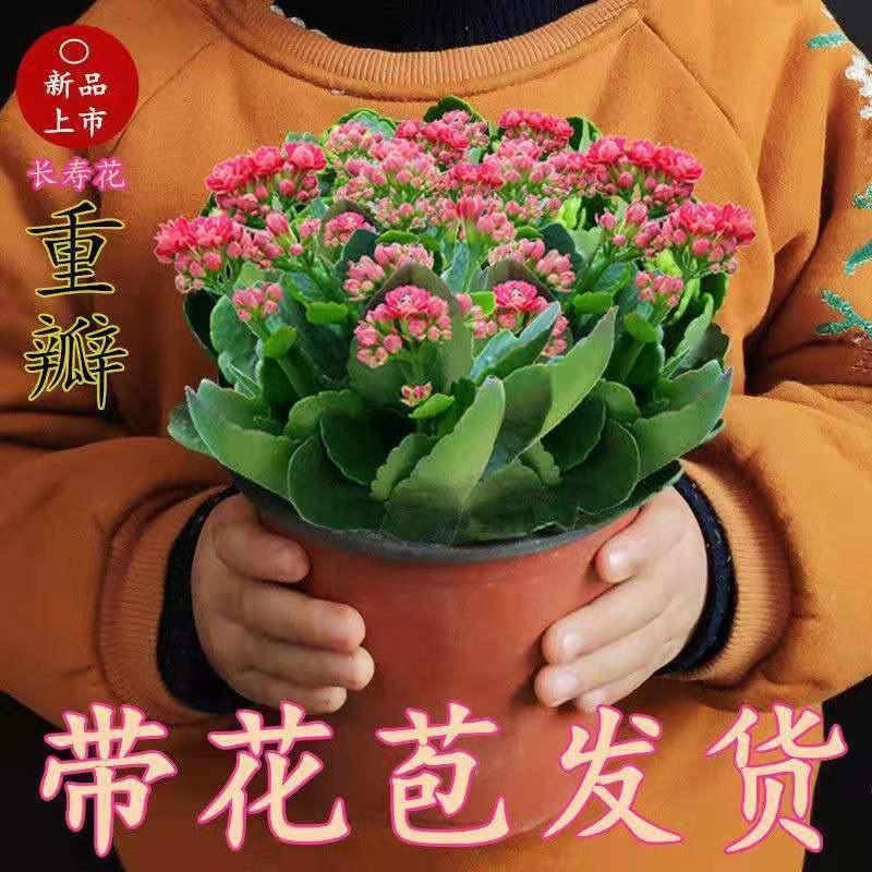 ไม้กระถาง♠ดอกไม้อายุยืนสองกลีบมีดอกตูมต้นกล้าขนาดใหญ่พืชสีเขียว อวบน้ำออกดอกสี่ฤดูต้นกล้าใหญ่ Flower Indoor Good Plants