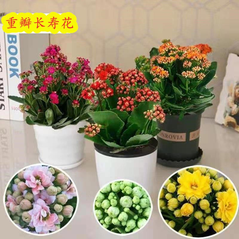 ไม้กระถาง♈✼ดอกไม้อายุยืนสองกลีบมีดอกตูมต้นกล้าขนาดใหญ่พืชสีเขียว อวบน้ำออกดอกสี่ฤดูต้นกล้าใหญ่ Flower Indoor Good Plants