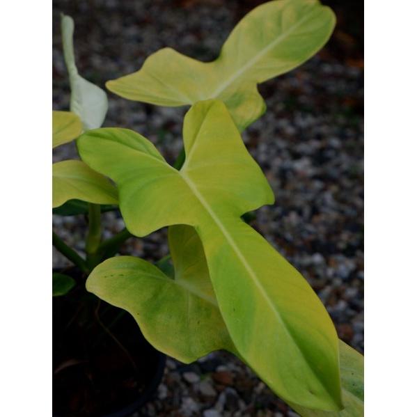 Philodendron violin gold (ไวโอลินสีทอง)