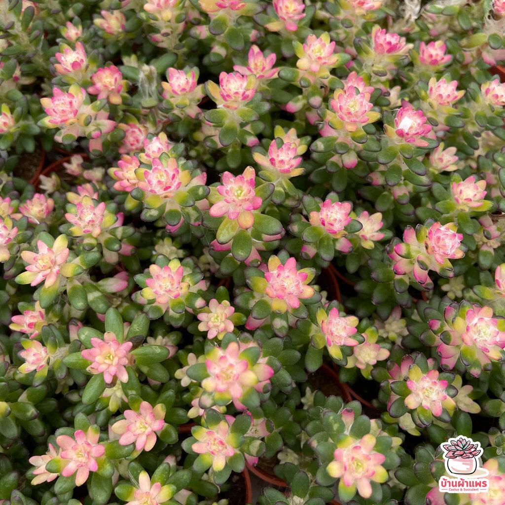 Portulaca ไม้อวบน้ำ กุหลาบหิน แคคตัส กระบองเพชร cactus&succulent