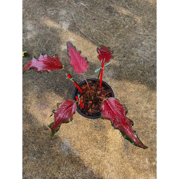 ปีกกินรี บอนสี ต้นแข็งแรง