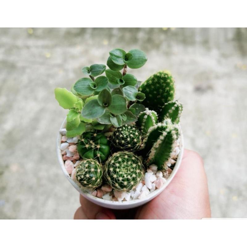 ไม้รวมจิ๋ว แคคตัส กระบองเพชร ไม้อวบน้ำ cactus and succulent ไม้ฟอกอากาศ
