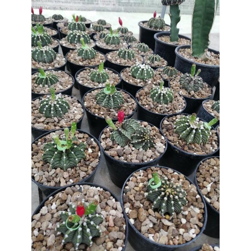 เมล็ดกระบองเพชร(Cactus) สายพันธุ์ยิมโนคาไลเซียม LB2178