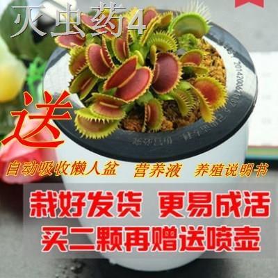 > ปศุสัตว์วังตะวันออกนำไม้กระถาง Venus flytrap ลงกระถาง ไม้กินแมลง ไม้ไล่แมลง ไม้ไล่ยุง กระชังอวบน้ำ