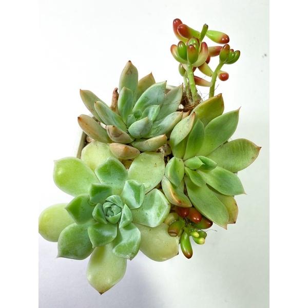 กุหลาบหิน/ไม้อวบน้ำsucculents นำเข้าราคาถูก จัดเซ็ต ขนาด 7-9cm.