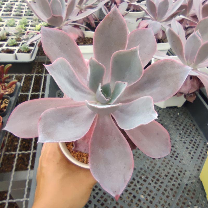 【ถูกที่สุด】✴✙♤Echeveria Afterglow กุหลาบหินนำเข้า ไม้อวบน้ำ Imported Live Succulents plant