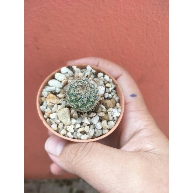 "Cactus ""แมมมิลลาเรีย"""