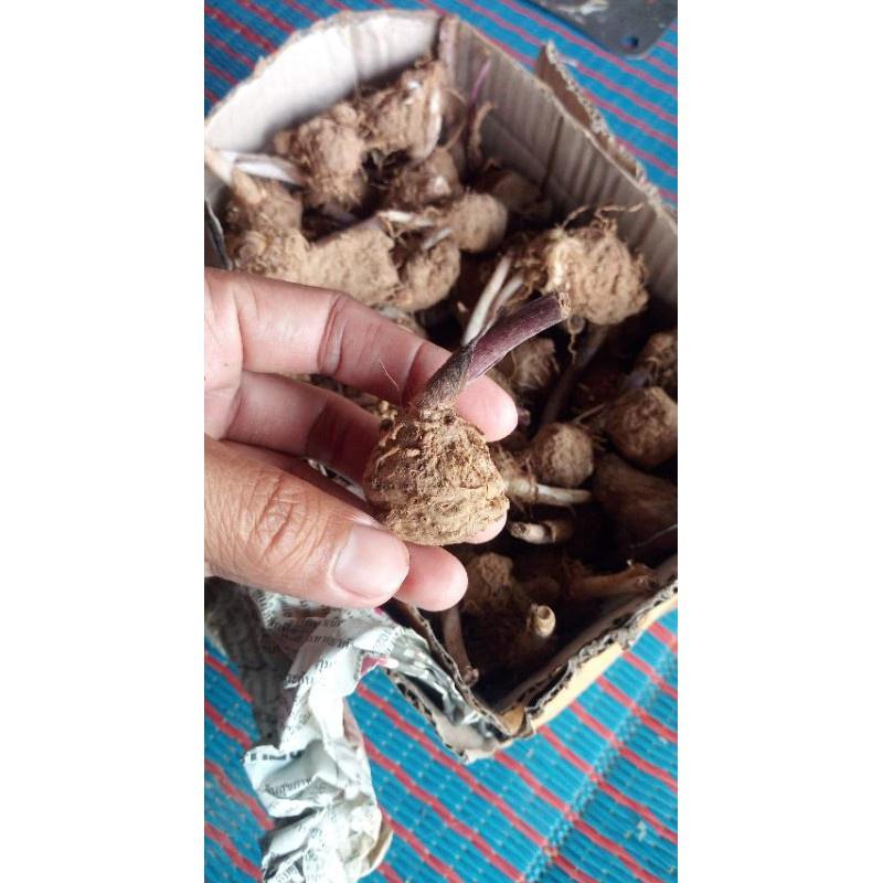 ♣หัวบอนสีชมพูอันดามัน(ขายเป็นหัวค่ะ)ห่อทิชชูส่ง