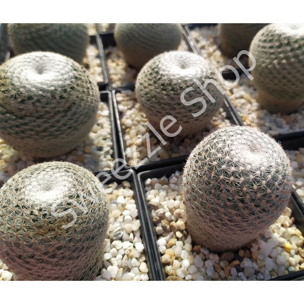 กระบองเพชร (Cactus) แมมเซลเซียน่า (Mammillaria Celsiana Lam.) ลุ้นสีดอก จัดส่งทั้งกระถาง (Update 25/10/2563)