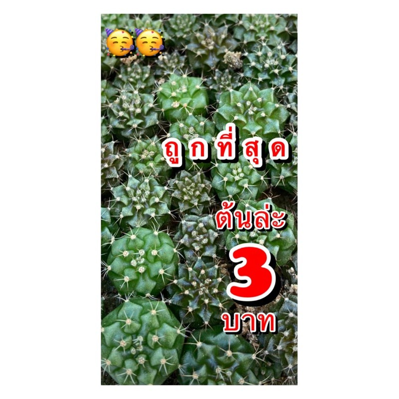 Cactusยิมโน เชื้อด่าง ไม้เมล็ด