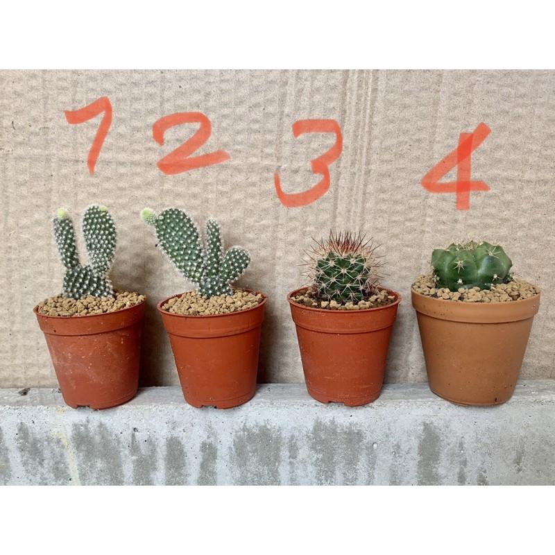 กระบองเพชร Cactus ไม้อวบน้ำ