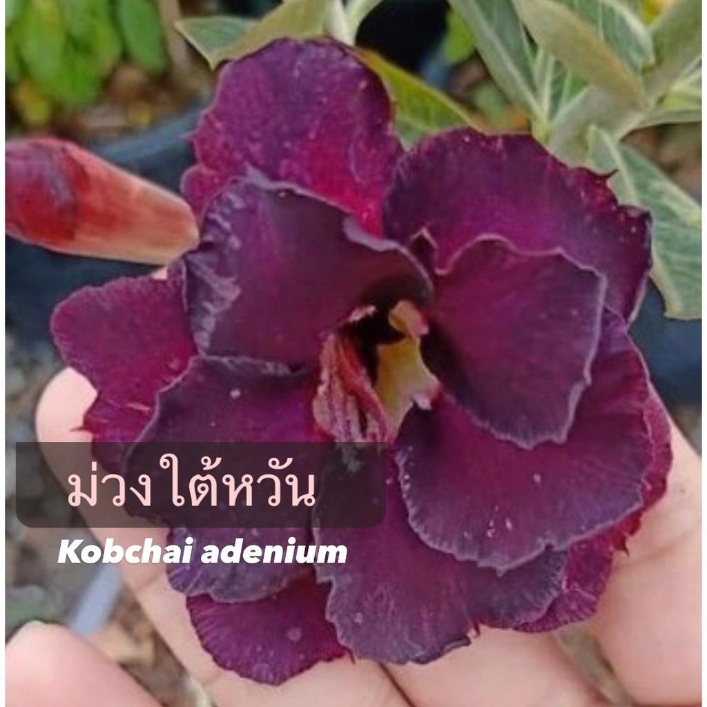 ชวนชมไม้สีขนาดกระถาง 6 นิ้ว ดอกสีม่วงเข้มใต้หวั่น(แบบถอนจัดส่ง)