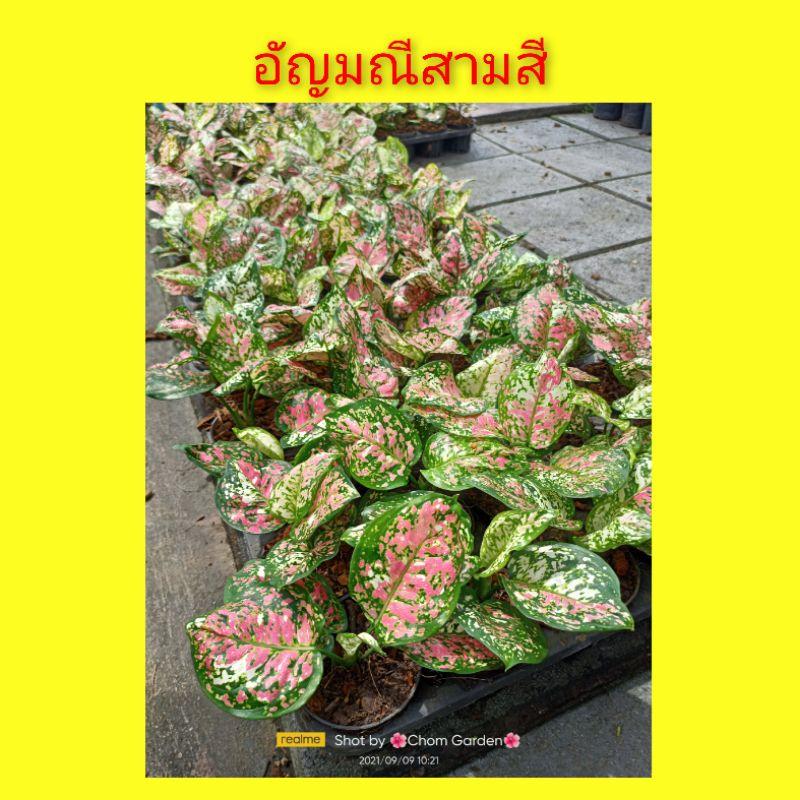 อัญมณี 3 สี ต้นอัญมณีสามสี Aglaonema sp. Tricolor Anyamanee อโกลนีมา อัญมณีสามสี