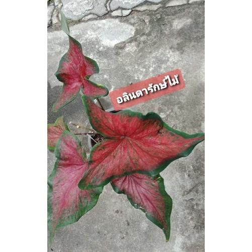 บอนสีท้าวพันตา (บอนเก่า โบราณ) สีแดง น่าสะสม กระถาง 4 นิ้ว
