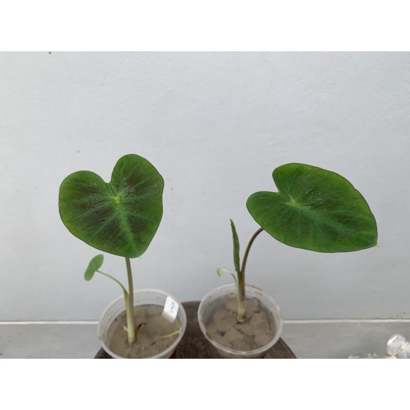 อโลฮ่า Colocasia esculenta Aloha บอนอโลฮ่า