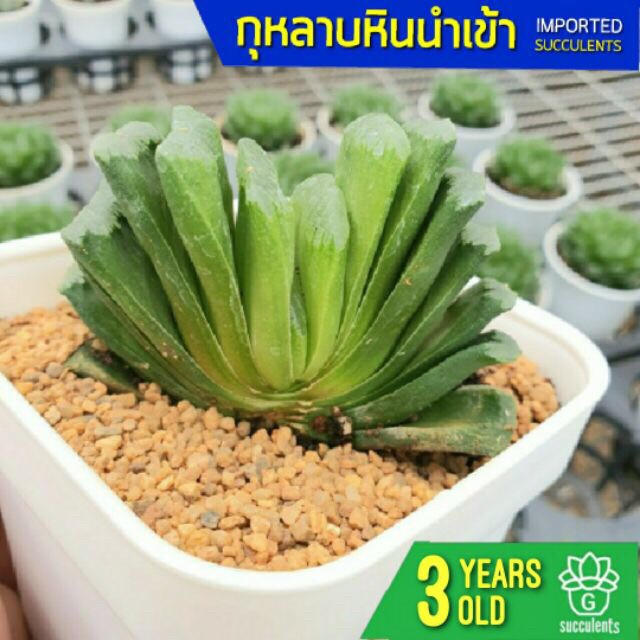 Haworthia Truncata vc Limegreen Succulents 2U กุหลาบหินนำเข้า ไม้อวบน้ำ
