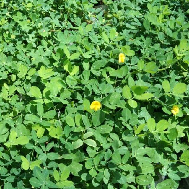 ต้นถั่วบราซิล พืชคลุมดิน