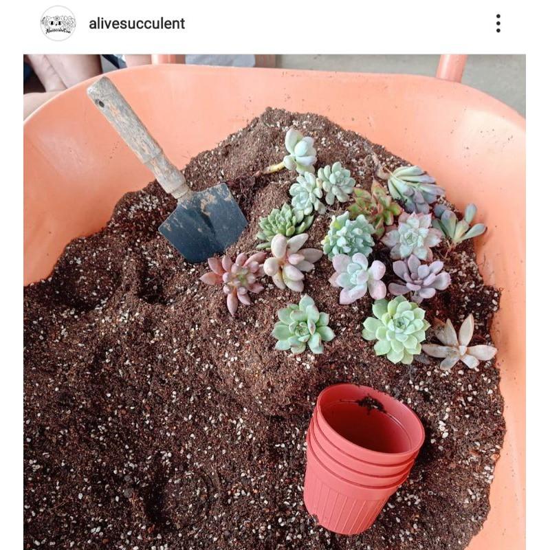 ดินปลูกไม้อวบน้ำ กุหลาบหิน