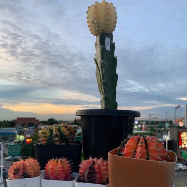 Gymno ยิมโนด่าง กระบองเพชรด่าง แคคตัส cactus  สีกระจาย