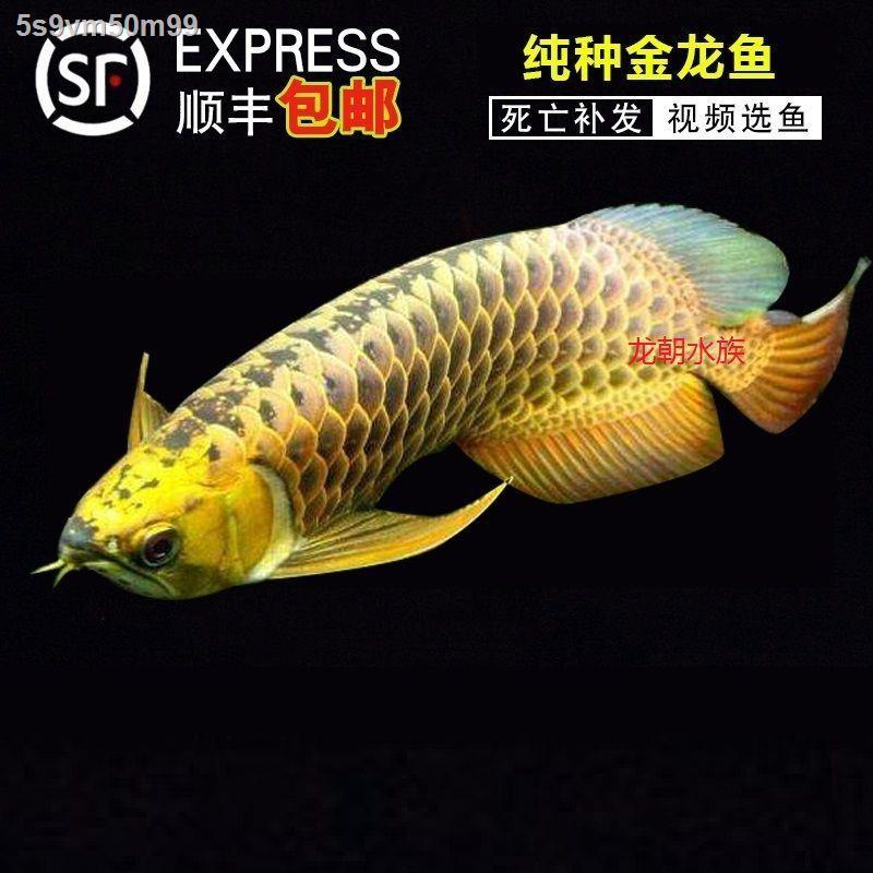 หลัง ปลามังกรทองสด ปลามังกรโลหะหนักคลาสสิก 24K หัวทองหลัง arowana ปลาสวยงามหลังสูง live