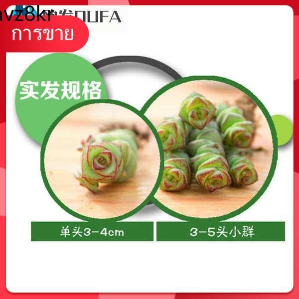 Succulents เมล็ด กุหลาบหิน ♬[ไม้เสียบเงินหัวยาวและไม้อวบน้ำ + กระถางดอกไม้ + ปุ๋ย] ไม้เสียบเงินและไม้อวบน้ำเป็นของที่สวย