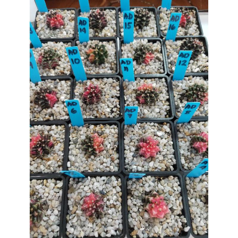 ยิมโนด่างสวยๆ Cactus AD 9/28/20 (GYMNOCALYCIUM ) Gymno dang