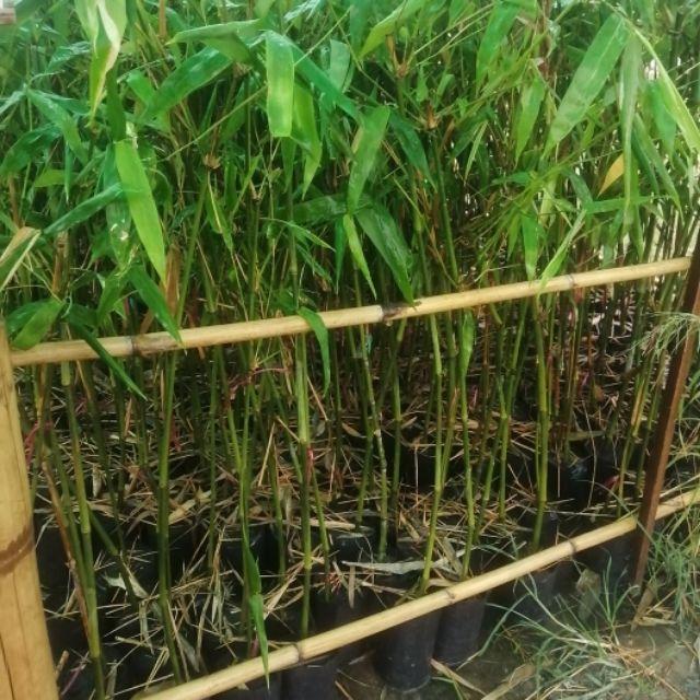 🌿ไผ่ซางหม่น แท้💯 กิ่งตอน 1เมตร ปลูกได้ในทุกสภาพดิน พื้นทีแห้งแร้ง ดินลูกรัง ดินปนหิน ก็ปลูกได้