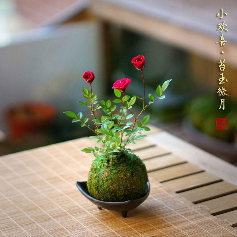 [พร้อมส่ง] พืชบราซิล ไฮโดรโปนิกส์ ไม้กระถาง ดอกไม้ และไม้อวบน้ำ  №❦ดอกกุหลาบจิ๋วจิ๋วจิ๋วพร้อมดอกตูมและมอสกุหลาบ มอส บอลร