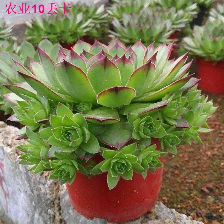 Avalokitesvara succulents ไม้กระถางขนาดใหญ่ที่มีลูกเล็กเป็นไม้ที่ปลูกง่ายแตกง่ายไม้อวบน้ำกลุ่มอวบน้ำ