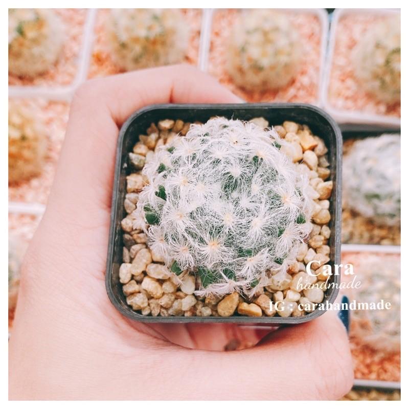 แมมขนนกเปียก☔️Mammillaria schiedena V plumosa ☔️💕หรือแมมเมียวโจ ☔️กระบองเพชร แคคตัส ไม้อวบน้ำ