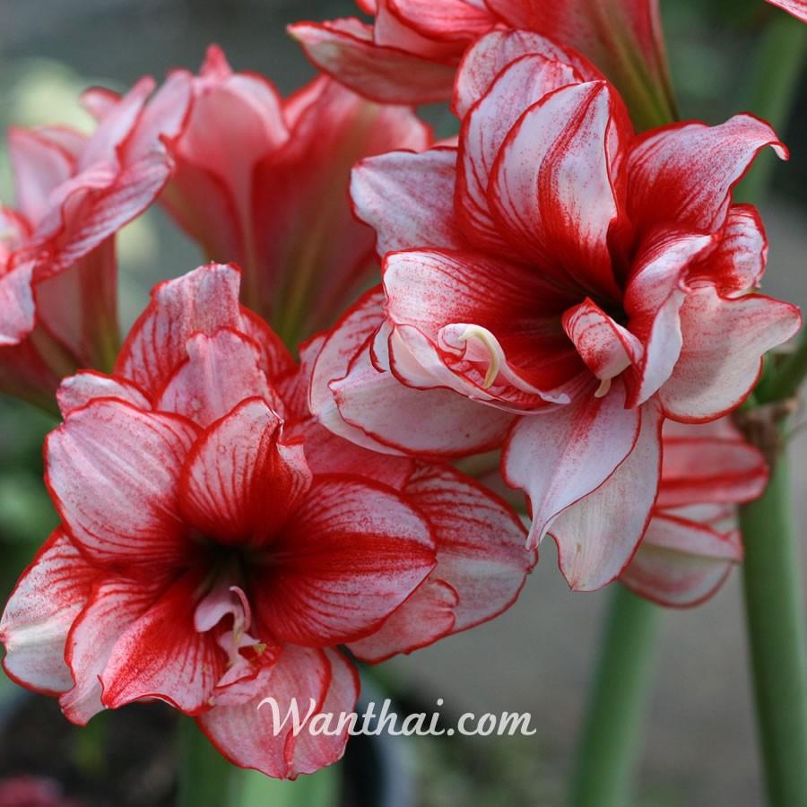ว่านสี่ทิศ Joker ดอกซ้อนสีแดงเข้ม Wanthai ขายหัวลิลลี่ ไฮยาซิน ว่านสี่ทิศ ทิวลิป ต้นไม้ฟอกอากาศ เมล็ด