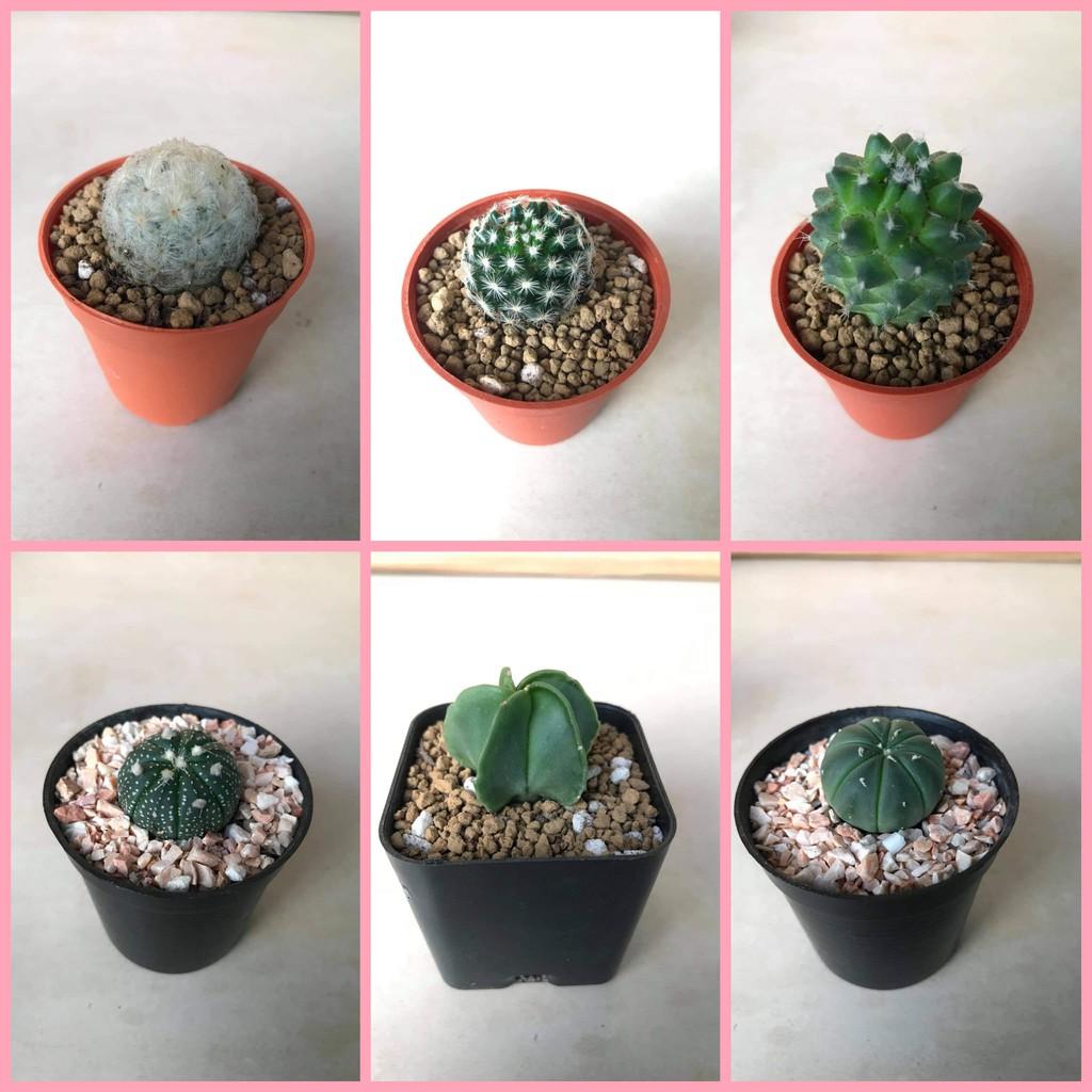 กระบองเพชร แคคตัส ทั้งกระถาง cactus แอสโตร แมมขนนก แมมเฮเลน ต้นกระบองเพชร ตกแต่งบ้าน