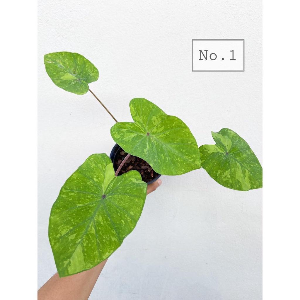 บอนเลม่อน alocasia lemonlime gecko หรือ บอนเลม่อนไลม์ ต้นสวยๆ