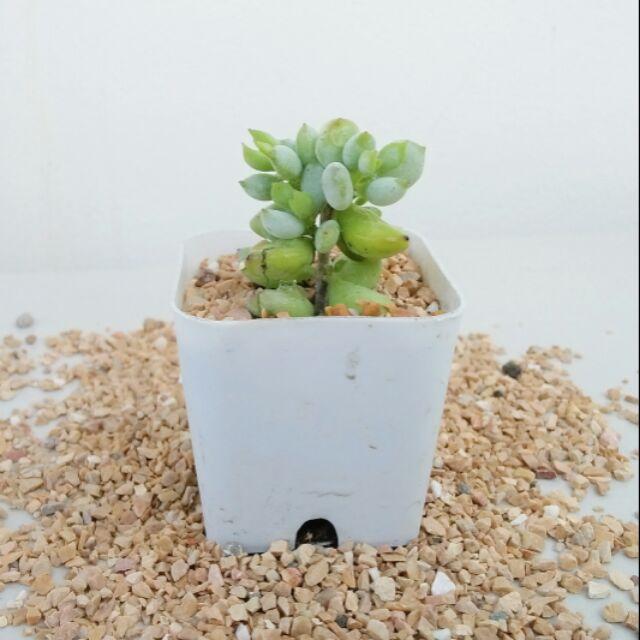 ไม้อวบน้ำ succulent