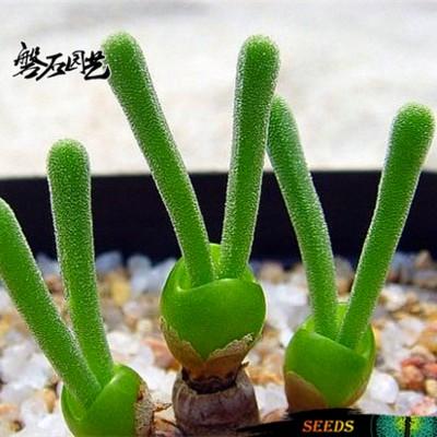 กระบองเพชร ไม้อวบน้ำ แคคตัส cactus succulent seeds เมล็ดพันธุ์ Monilaria pisiforme หูกระต่าย