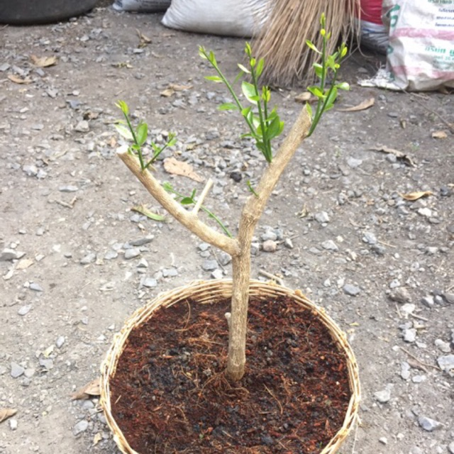 ผักหวานป่า ชุดปลูกกิ่งตอน 5 กิ่ง แถม เมล็ดพันธุ์ 5 เมล็ด การปลูกผักหวานป่า
