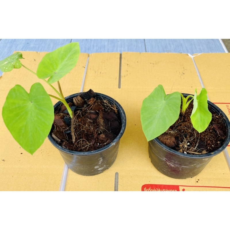 {new}ต้นบอนแนนซี่ Colocasia Nancy บอนต่างประเทศ ต้นลูก kNPh