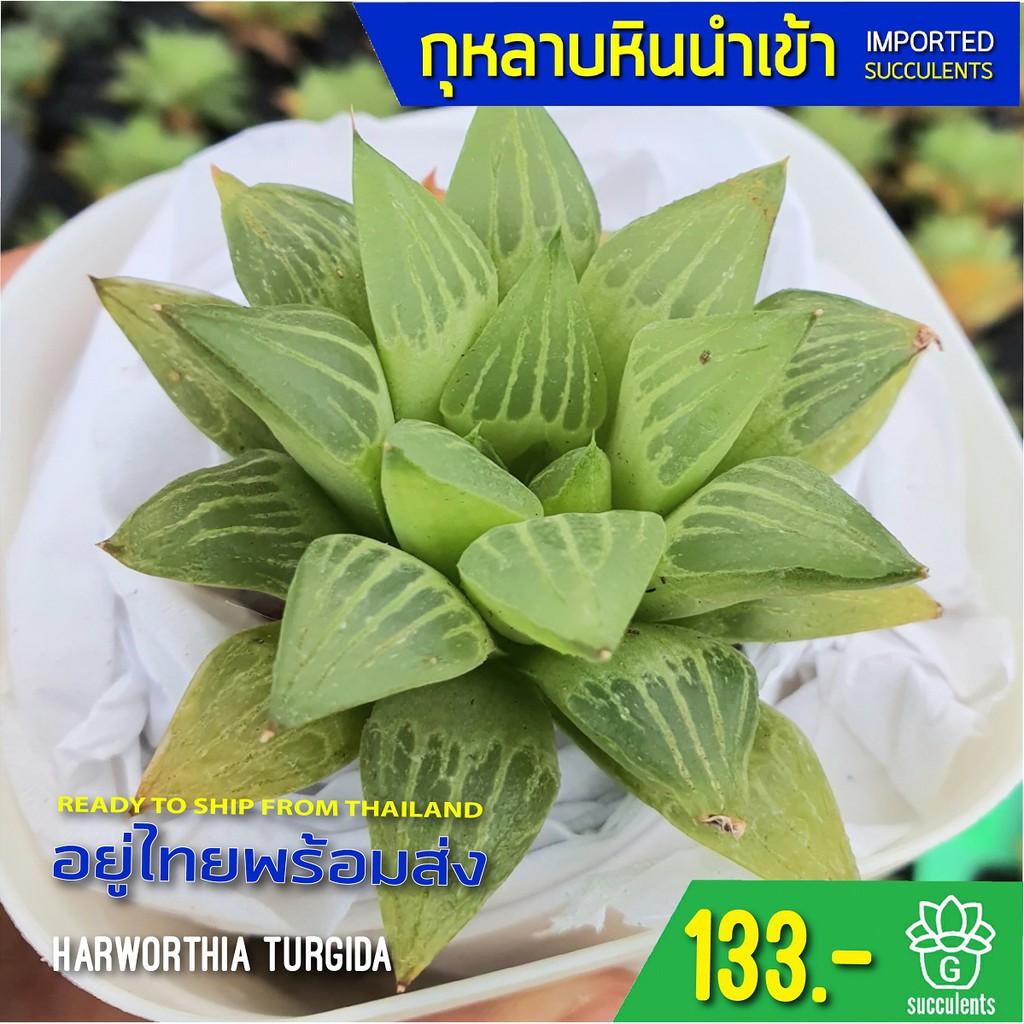 (ไม่มีราก) สินค้าใหม่ พึ่งนำเข้า Haworthia Turgida G succulents กุหลาบหินนำเข้า ไม้อวบน้ำ