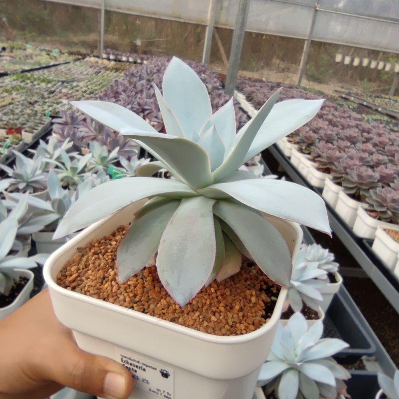 ยิมโนด่าง แคคตัส กระบองเพชร Echeveria Cante G Succulents กุหลาบหินนำเข้า ไม้อวบน้ำ