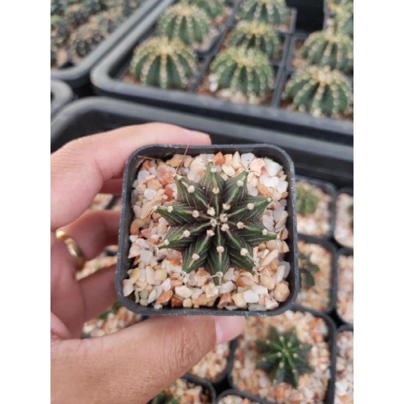 ยิมโน LB ลูกผสม LB hybrid Cactus