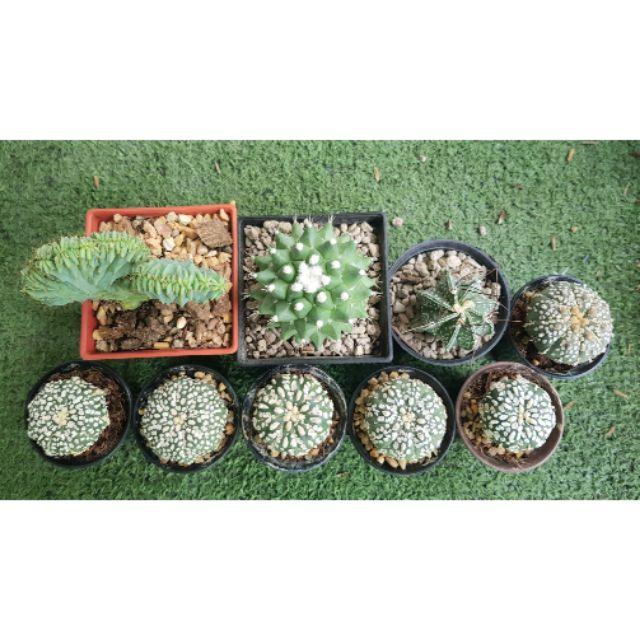 กระบองเพชร(Cactus) แอสโตรไฟตัม ซุปเปอร์ ตอบลูคริส