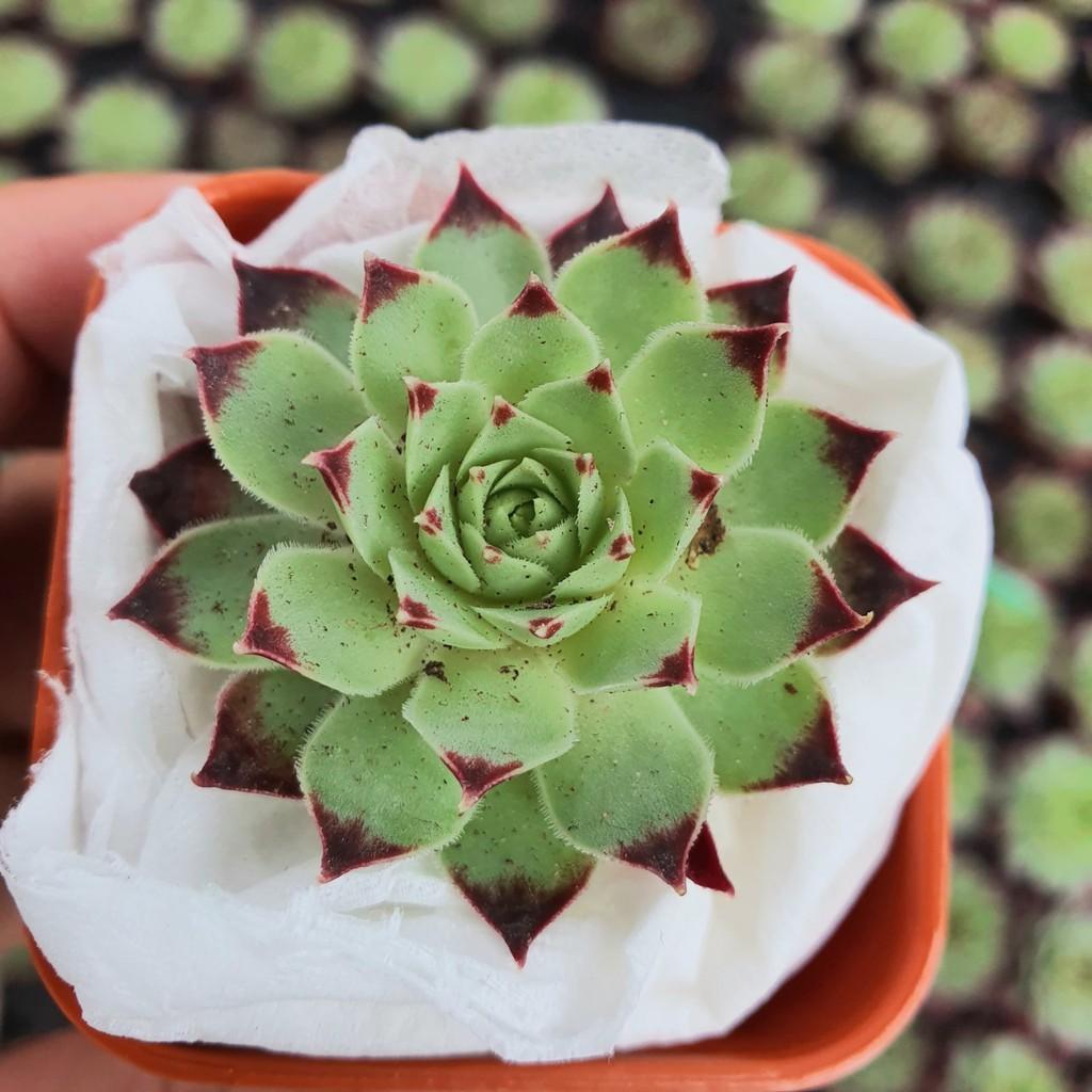 (ไม่มีราก) สินค้าใหม่ พึ่งนำเข้า Sempervivum Calcareum Mrs. Giusppi G succulents กุหลาบหินนำเข้า ไม้อวบน้ำ
