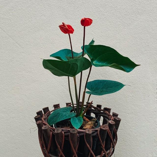 ต้นหน้าวัว (Pot Anthurium) หน้าวัวสูงประมาณ 30 cm.