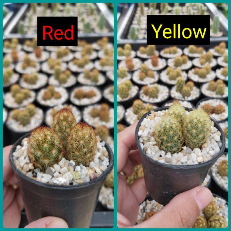 กระบองเพชร แคคตัส (Cactus) แมมนิ้วทอง (mammillaria elongata)